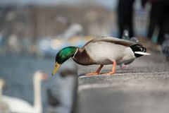 Male mallard duck ready to enter water from lakeside. Male mallard duck looking into the waters of Lake Geneva with white swan, blurred in background Stock Image