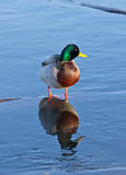Male Mallard Duck Reflection. A male mallard duck (Anas platyrhynchos) and his reflection in a blue river Stock Photography