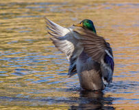 Male mallard duck on reflective water in autumn. Male mallard duck conducting wings on reflective water Stock Images