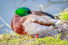 Male Mallard Duck Royalty Free Stock Image