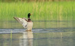 Male mallard duck shaking wings. While in the water pond Stock Photography