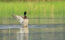 Male mallard duck shaking wings Stock Photography