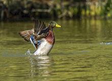 Male mallard duck shaking wings. While in the water pond stock images