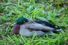 Male Mallard Duck Sleeping in Green Leaves Stock Photography