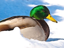 Male Mallard Duck in Snow Royalty Free Stock Photos
