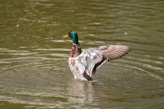 Male Mallard Duck Spreading Wings in Water. Mallard Duck Royalty Free Stock Image