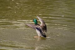 Male Mallard Duck Spreading Wings in Water. Mallard Duck Stock Photo