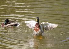 Male Mallard Duck Spreading Wings in Water. Mallard Duck Royalty Free Stock Photo