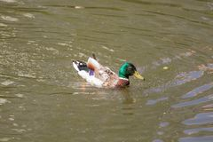 Male Mallard Duck Spreading Wings in Water. Mallard Duck Royalty Free Stock Images