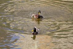 Male Mallard Duck Spreading Wings in Water. Mallard Duck Stock Images