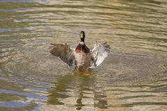 Male Mallard Duck Spreading Wings in Water. Mallard Duck Stock Image