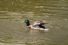 Male Mallard Duck Spreading Wings in Water. Mallard Duck Stock Photos