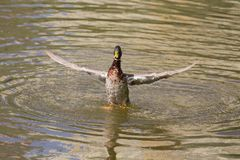 Male Mallard Duck Spreading Wings in Water. Mallard Duck Royalty Free Stock Photography