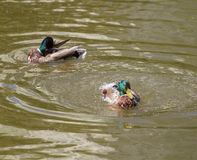 Male Mallard Duck Spreading Wings in Water. Mallard Duck Stock Photography