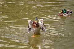 Male Mallard Duck Spreading Wings in Water. Mallard Duck Royalty Free Stock Photos