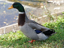 Male Mallard Duck Standing at Attention. In grass by lake Stock Photography