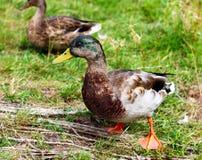 Male Mallard Duck standing in Grass. Male Mallard Duck Couple standing in gras very detailed royalty free stock image