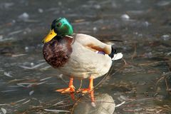 Male mallard duck standing on ice Stock Images