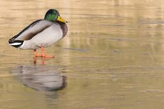 A male mallard duck standing on the ice : Southampton Common. A male mallard duck standing on the ice on the Ornamental Pond, Southampton Common, Hampshire, UK Stock Photography