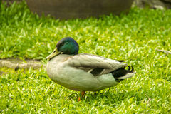 Male mallard duck Stock Photos