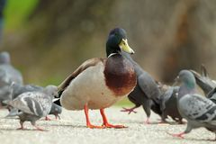 Male mallard duck standing proud amongst pigeons Stock Images