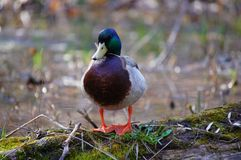 Male mallard duck standing on the rotten log in the water. Stock Image