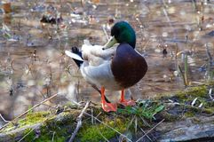 Male mallard duck standing on the rotten log in the water. Stock Photos
