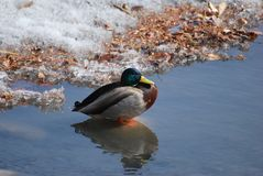 Male Mallard duck standing in shallow water by snow Royalty Free Stock Photos