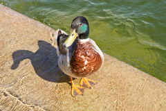 Male mallard duck Stock Photo