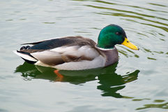 Male Mallard duck swimming in. Pond in autumn Stock Photo