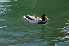 Male Mallard Duck swimming in Alamitos Bay in Long Beach California Stock Photo
