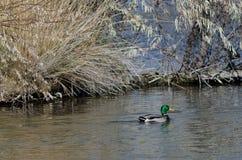 Mallard Duck Swimming in the Autumn Pond. Male Mallard Duck Swimming in the Autumn Pond Royalty Free Stock Photo