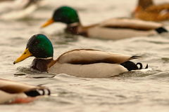 Male mallard duck swimming with his flock Royalty Free Stock Photography