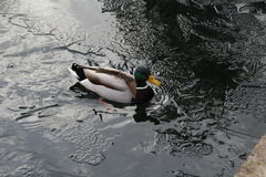 Male Mallard duck. Swimming in the icy waters of a partially frozen lake Royalty Free Stock Photo
