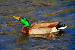 Male Mallard Duck swimming in the Kern River. In Kernville at the headwaters of Lake Isabella in southern Sierra Nevada mountains of central California United Royalty Free Stock Photo