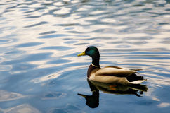 Male mallard duck. Swimming on a lake Royalty Free Stock Image