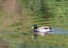 Male mallard duck swimming in lake. Male Mallard duck swimming in a green reflective pond. Unlike many waterfowl, mallards are considered an invasive species in Stock Photography