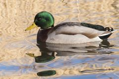 A male mallard duck swimming on the Ornamental Pond, Southampton Common Stock Photos