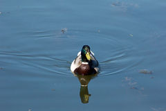 Male Mallard Duck. Swimming in the pond Stock Photography