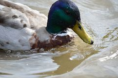 Male mallard duck swimming in pond. Close up Stock Photography