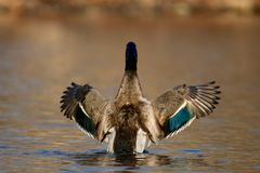 Mallard Duck Fall Wing Flap. A male mallard duck swimming on a pond and flapping his wings in the evening in Fall Stock Image