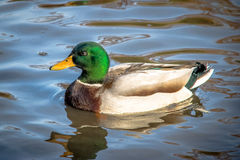 Male Mallard duck swimming in a pond of High Park - Toronto, Ontario, Canada Royalty Free Stock Photos