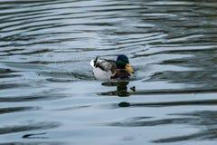 Male mallard duck floating on water stock photo
