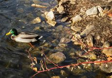 Male mallard duck swimming by rocky shore. Solo male mallard duck paddling around by the shore with rocks Royalty Free Stock Photo