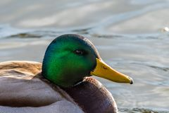 Male mallard duck swimming on a water. Green head. Late winter weather. Detailed portrait Royalty Free Stock Photos