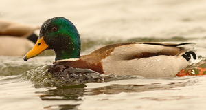Male mallard duck swimming on water surface. Anas platyrhynchos Royalty Free Stock Photography