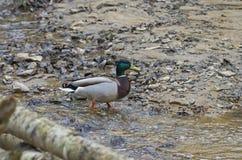 Male mallard duck. Male mallard duck walking across the bottom of a stream Royalty Free Stock Images
