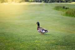 Male mallard duck walking on green grass at sunny day Stock Photos
