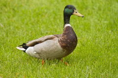 Male mallard duck. Walking on green meadow Stock Image