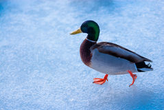Male mallard duck walking on ice. Single male mallard duck walking left on ice surface Stock Photos
